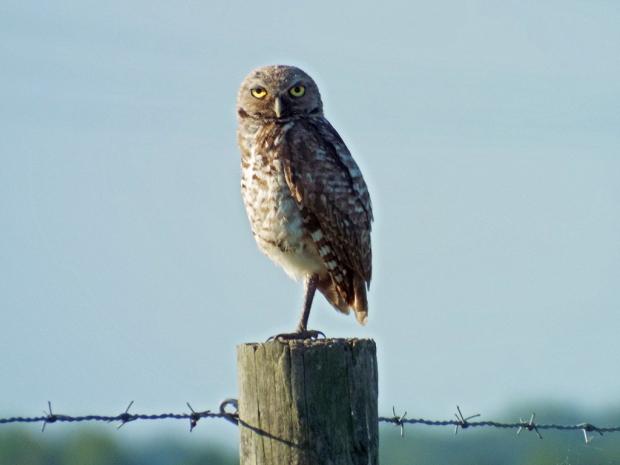 burrowing-owl1