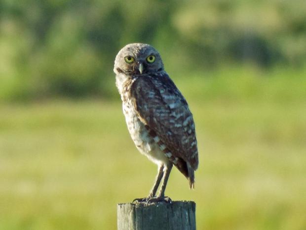burrowing-owl2