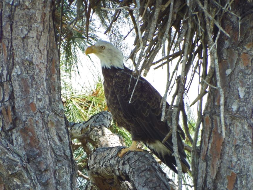 shaded-eagle