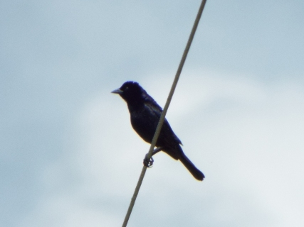 I would have thought this bird was a grackle if I hadn't known beforehand to expect it.
