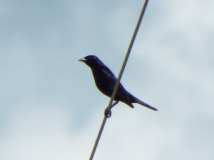 Shiny Cowbird! A first!