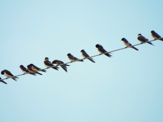 Line of mostly Barn Swallows. What's that 2nd from the right?
