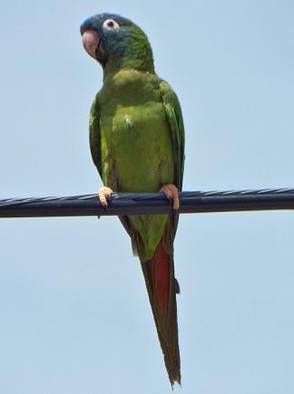 Blue-crowned Parakeet, Melbourne, FL