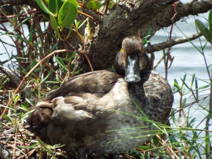 Ring-billed Duck (with maimed right wing)