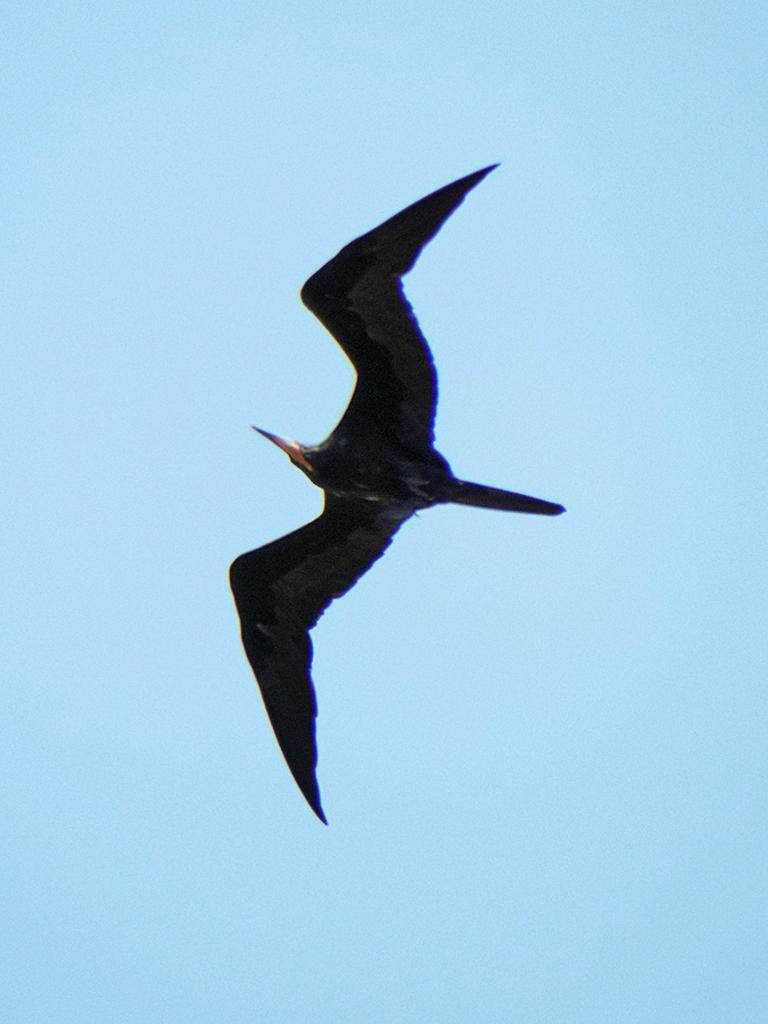 frigatebird1