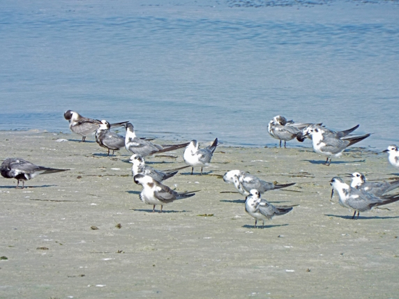 Just a handful of over 100 Black Terns.