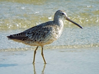 Short-billed Dowitcher in winter plumage.