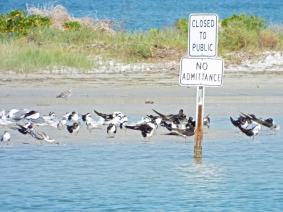 Lots of Black Skimmers on the sandbar.