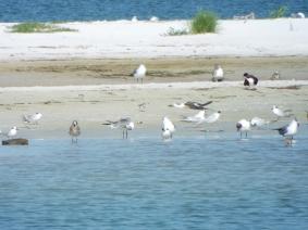 Mixture of gulls, terns, and shorebirds.