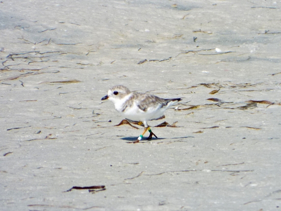 Cutest shorebird ever? Piping Plover (note the banded legs).