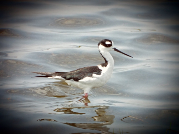 Black-necked Stilt. The vignetting was a happy accident!