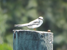 Young Least Tern, Melbourne, FL