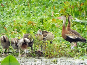 One of several Black-bellied Whistling Duck families.
