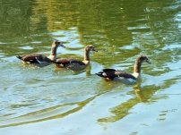 egyptian-geese-swimming