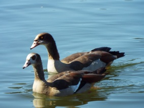 egyptian-geese