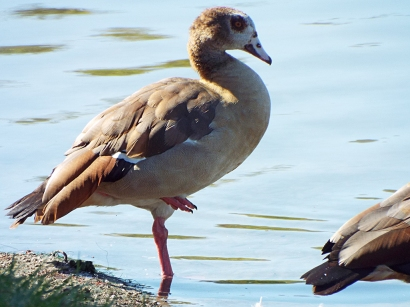 egyptian-goose