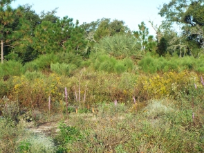 Wildflowers and pines - part of the Sandhill habitat restoration
