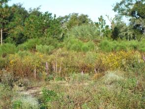 Wildflowers and pines - part of the Sandhill habitat restoration
