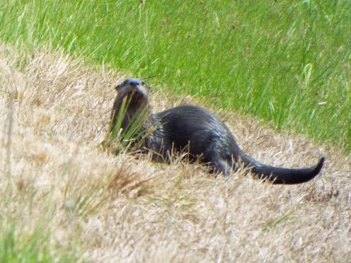 A cute River Otter