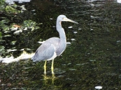 Wading Tricolored Heron