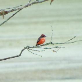 Juvenile male Vermilion Flycatcher