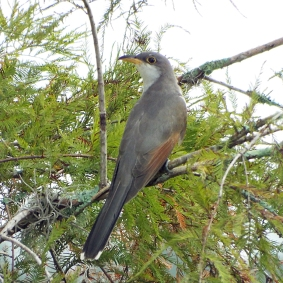 One of my best looks at a Yellow-billed Cuckoo