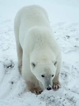 a-curious-polar-bear2
