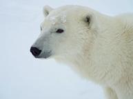 alert-polar-bear