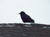 One of many Common Ravens in town