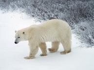 awakened-polar-bear1