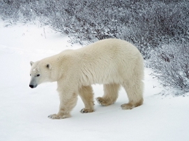awakened-polar-bear1