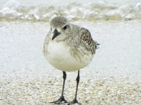 black-bellied-plover