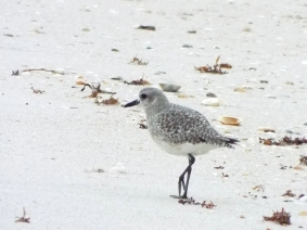 black-bellied-plover2