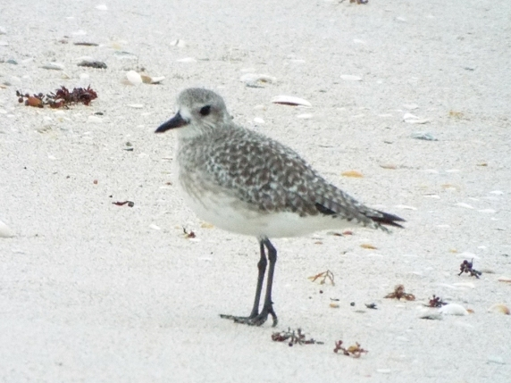 black-bellied-plover3