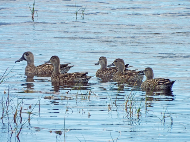 blue-winged-teals