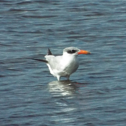 This Caspian Tern stood apart from the larger flock nearby.
