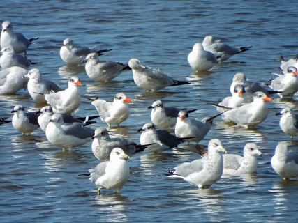 Another mixed flock of terns and gulls