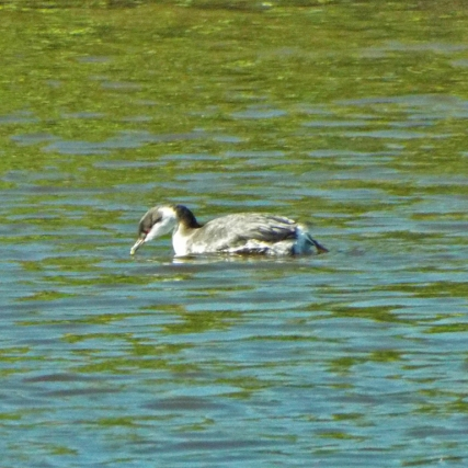 Injured Horned Grebe taking refuge in the Refuge