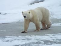 larger-polar-bear1