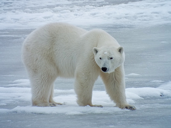 larger-polar-bear2
