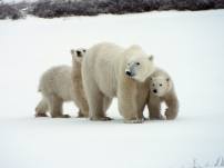 Momma with 2 cubs