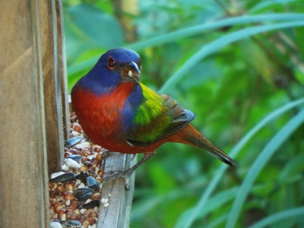 One of two Painted Buntings making use of the Visitor Center's feeder.