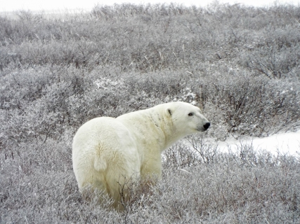 polar-bear-in-willows2