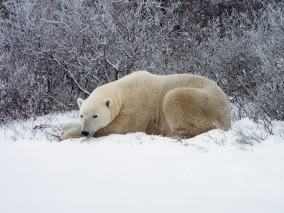 The bears rest a lot as they wait for the sea ice to form