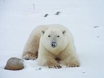 polar-bear-resting2