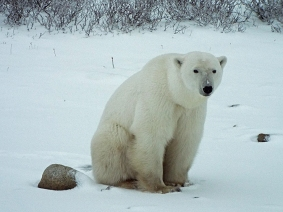 polar-bear-sitting1