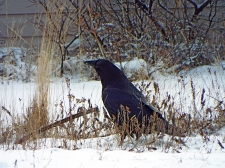 Another of the huge area ravens