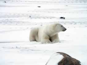 resting-polar-bear