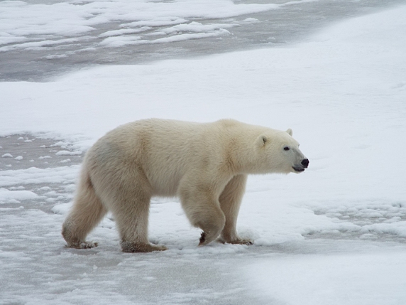 smaller-polar-bear