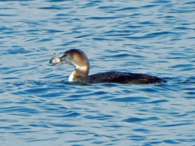 Common Loon with a fish